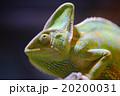 エボシカメレオン カメレオン Chamaeleo calyptratus 20200031