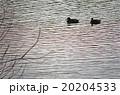 池に浮かぶカモ 20204533