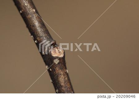 自然 植物 ネムノキ、葉痕と丸い副芽(予備の芽)。本来の冬芽は葉痕の下にあり見えないそうです 20209046