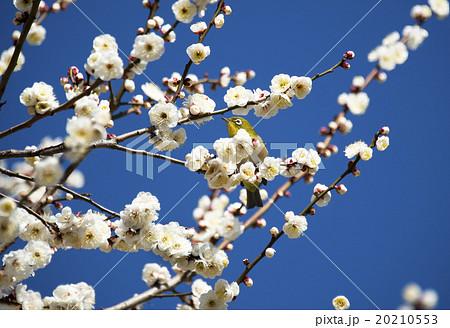 梅の花とメジロ 20210553