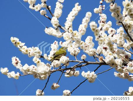 梅の花とメジロ 20210555