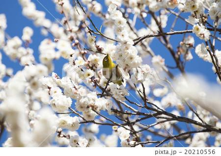 梅の花とメジロ 20210556