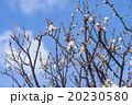 青空と梅の花 20230580