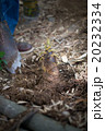 たけのこ 食材 山菜の写真 20232334