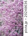 桜花一面 20248636