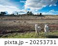 リャマ 動物 野原の写真 20253731