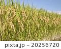 稲 稲穂 秋の写真 20256720