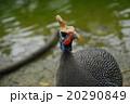 カブトホロホロチョウ 動物 鳥類の写真 20290849