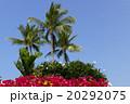 ブーゲンビリア ヤシの木 ヤシの写真 20292075