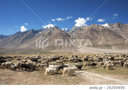 Herd of sheep against the background of mountain