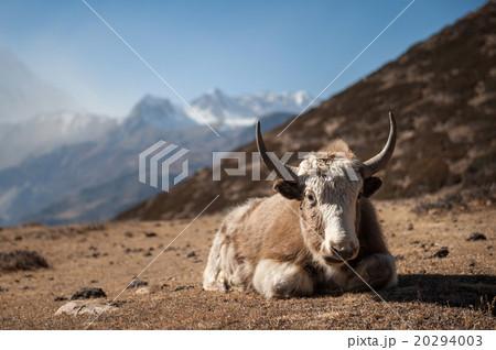 Yak in Annapurna region, Nepal