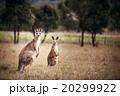 Group of australian kangaroos 20299922