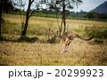 動物 オーストラリア カンガルーの写真 20299923