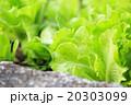 野菜 ベジタブル 青菜 20303099