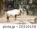 金沢動物園|アラビアオリックス 20310158