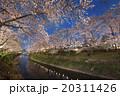 夜桜 桜 花の写真 20311426