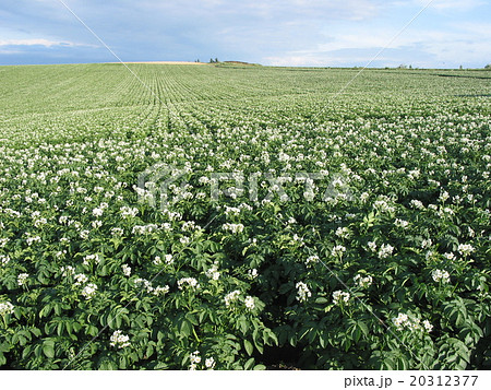 ジャガイモの白い花が一面に咲く夏の美瑛の丘(セブンスターの木周辺) 20312377
