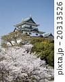 城 桜 和歌山城の写真 20313526