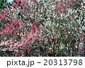 桃 20313798