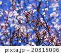 山桜 20318096