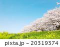 桜 青空 春の写真 20319374