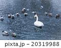 白鳥&カモ 20319988