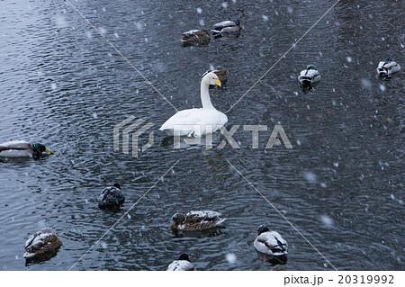 白鳥&カモ 20319992