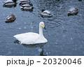 白鳥&カモ 20320046