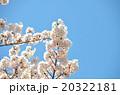 桜の春の写真 20322181