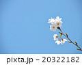 桜の春の写真 20322182