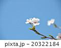 桜の春の写真 20322184