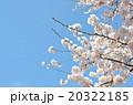 桜の春の写真 20322185