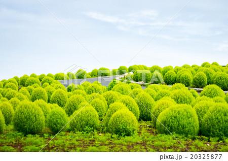 国営ひたち海浜公園の夏のコキア(茨城県の風景) 20325877