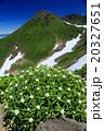ヤマハハコの花と鳥海山山頂 20327651