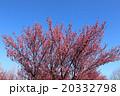 梅の花 20332798