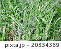 グリーン 緑 緑色の写真 20334369