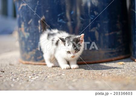 猫の楽園「田代島」迷子の子ネコ(ΦωΦ)産まれたばかりのヨチヨチ歩きに癒される20336603