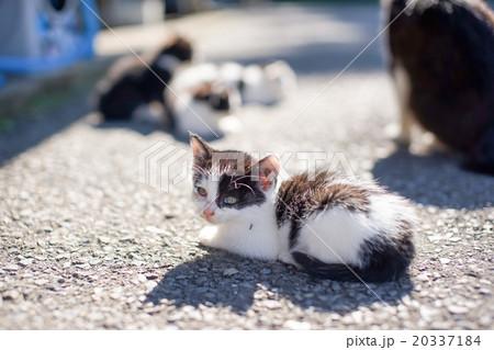 猫の楽園「田代島」ネコの島(ΦωΦ)寂しげに振り向く愛らしい子ネコ20337184