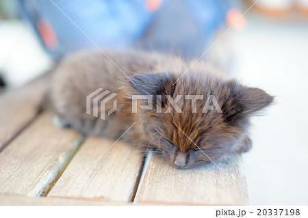 猫の楽園「田代島」ネコの島(ΦωΦ)スヤスヤ眠る子猫20337198