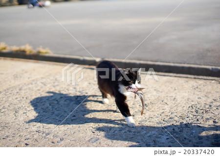 猫の楽園「田代島」ネコの島(ΦωΦ)お魚くわえた野良猫20337420