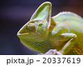 エボシカメレオン カメレオン Chamaeleo calyptratus 20337619