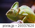 エボシカメレオン カメレオン Chamaeleo calyptratus 20337620