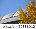 東京ドームと銀杏 20338012