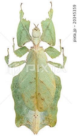オオコノハムシ(Phyllium giganteum) 20345359