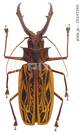 オオキバウスバカミキリ♂(Macrodontia cervicornis) 20345360
