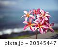 花 プルメリア ピンクの写真 20345447