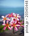 花 プルメリア ピンクの写真 20345448