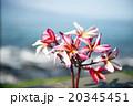 花 プルメリア ピンクの写真 20345451