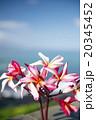 花 プルメリア ピンクの写真 20345452