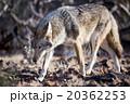 Coyote 20362253